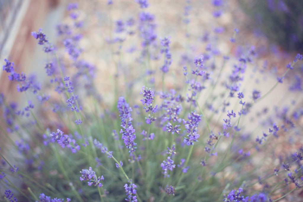 This picture was taken a few years back of the lavender I currently have in my yard. Photo details: Canon EOS 5D Mark II, 50mm lens, f/2, 1/125, 400ISO