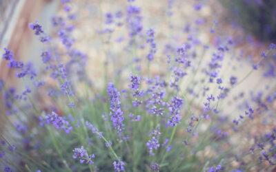 On The Hunt For Lavender